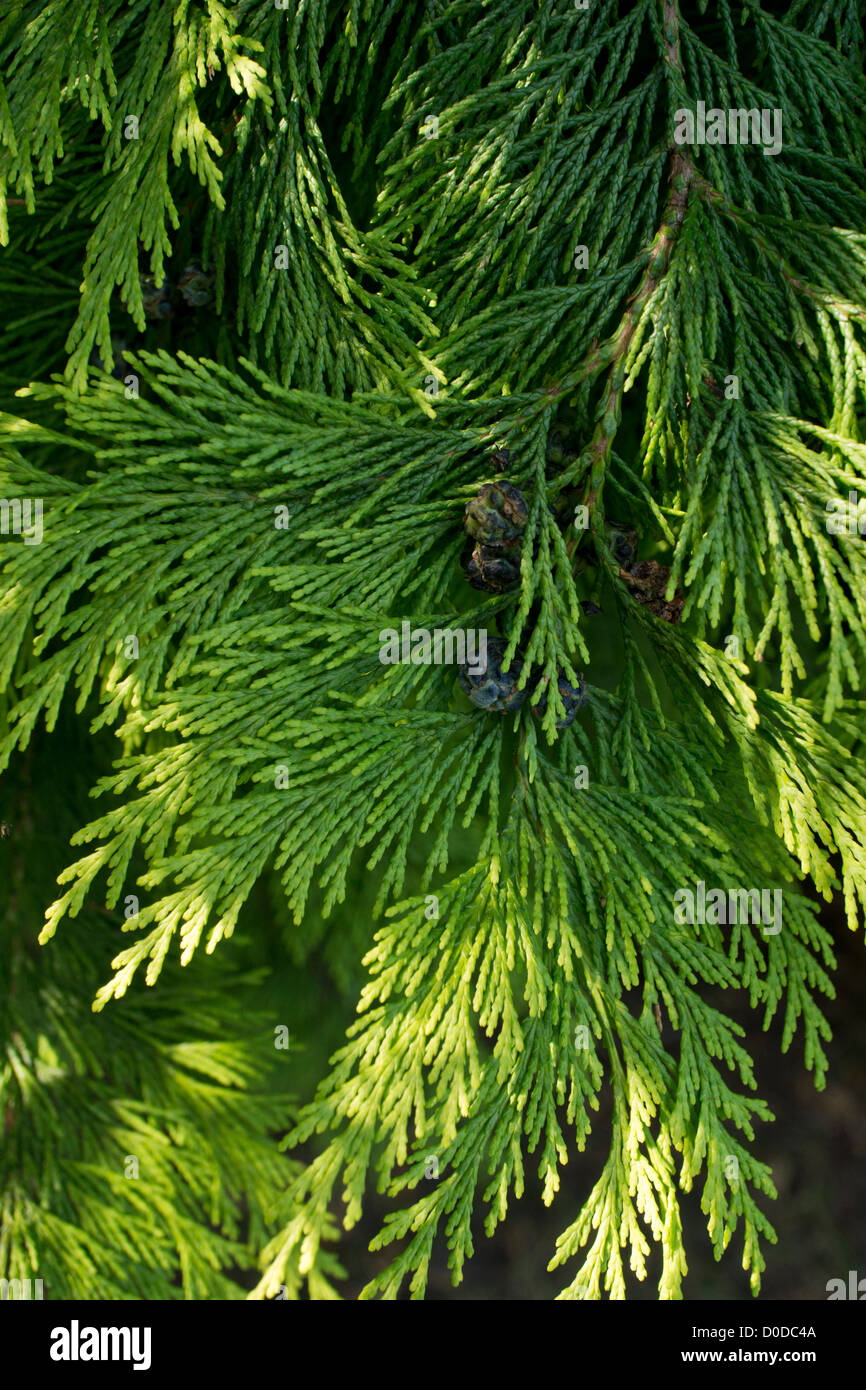 Lawson's cypress (Chamaecyparis lawsoniana) close-up - Stock Image