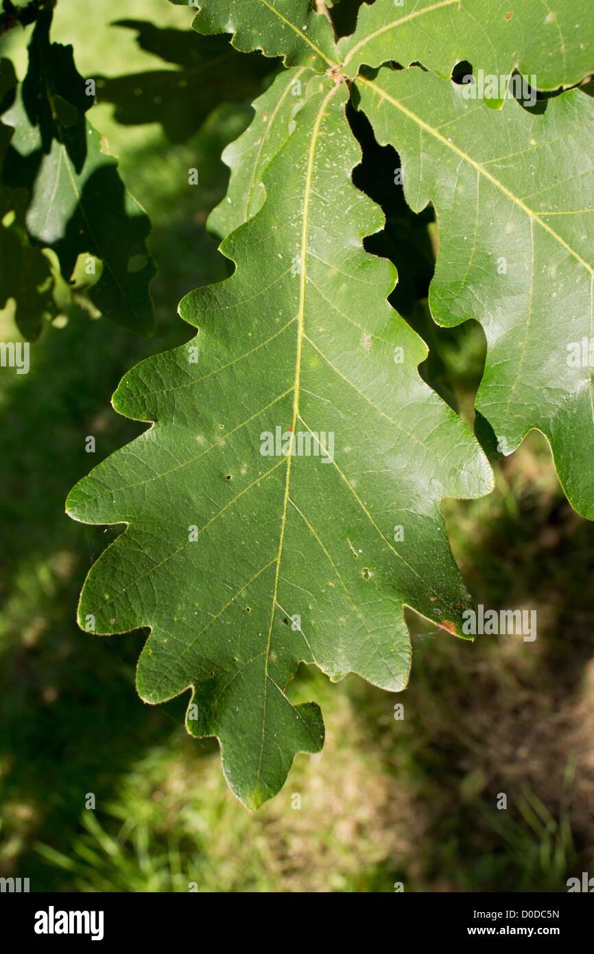 Daimyo Oak (Quercus dentata)  leaf, close-up - Stock Image