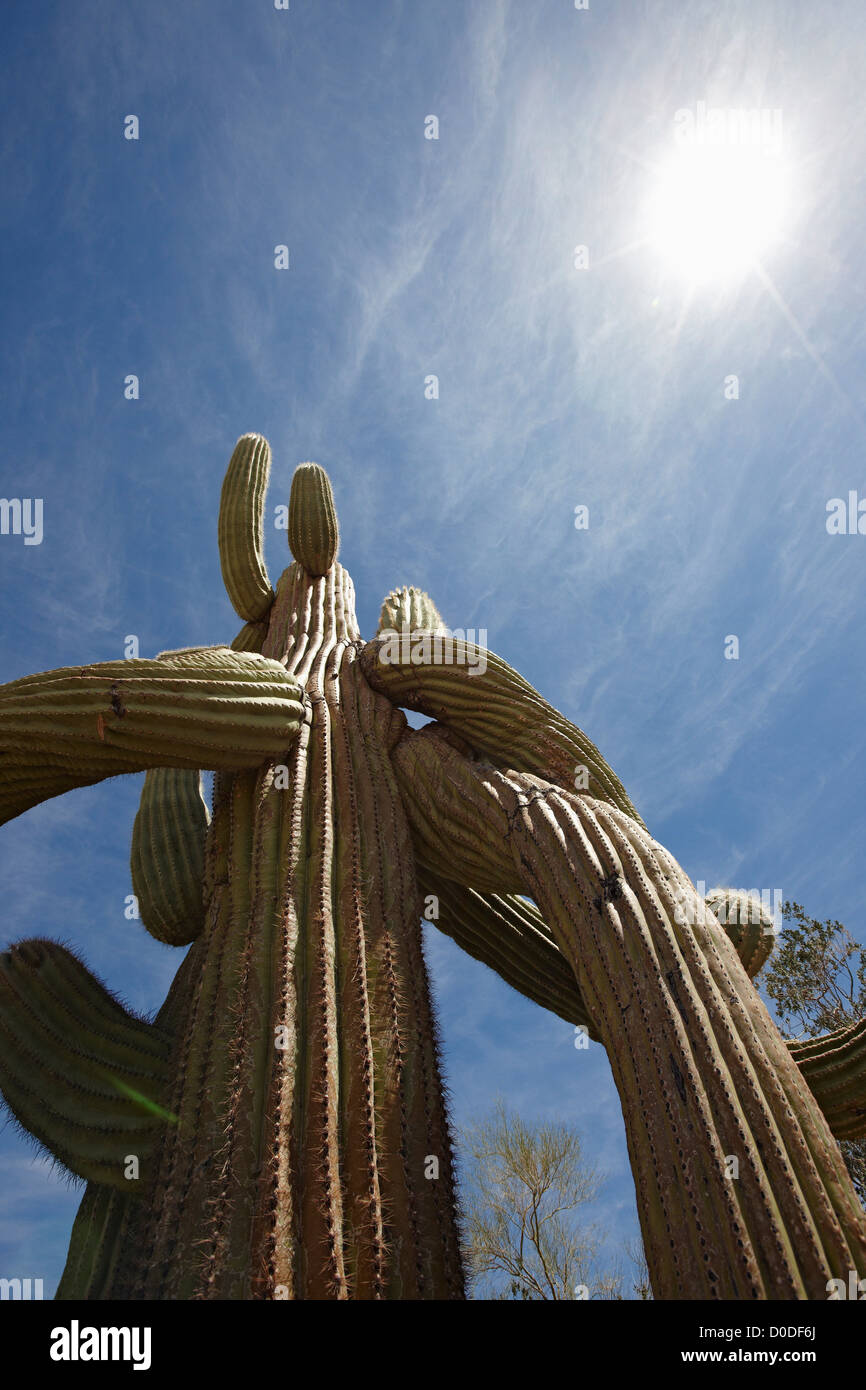Looking up at a twisted saguaro cactus (Carnegiea gigantea), in Organ Pipe Cactus National Monument, southern Arizona. - Stock Image