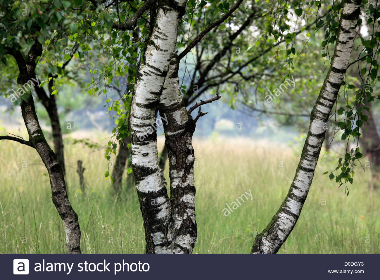 young silver birch trees with heathland grasses Stock Photo