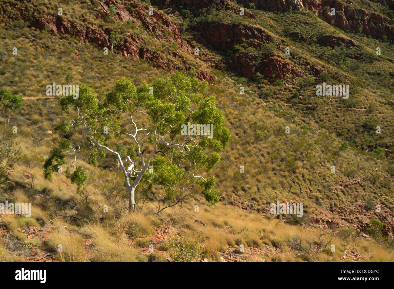 Lone ghost gum in Ormiston Gorge, West MacDonnell Ranges west of Alice Springs, Red Centre of the Northern Territory, - Stock Image