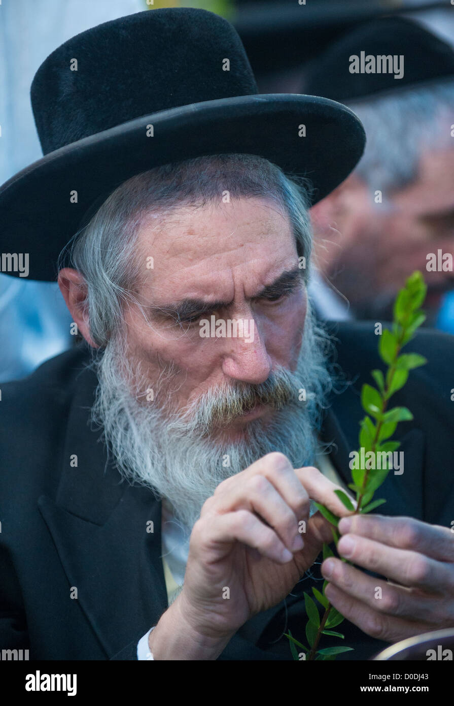An ultra-orthodox Jewish man inspects an Hadas in the Four species market in Jerusalem Israel - Stock Image