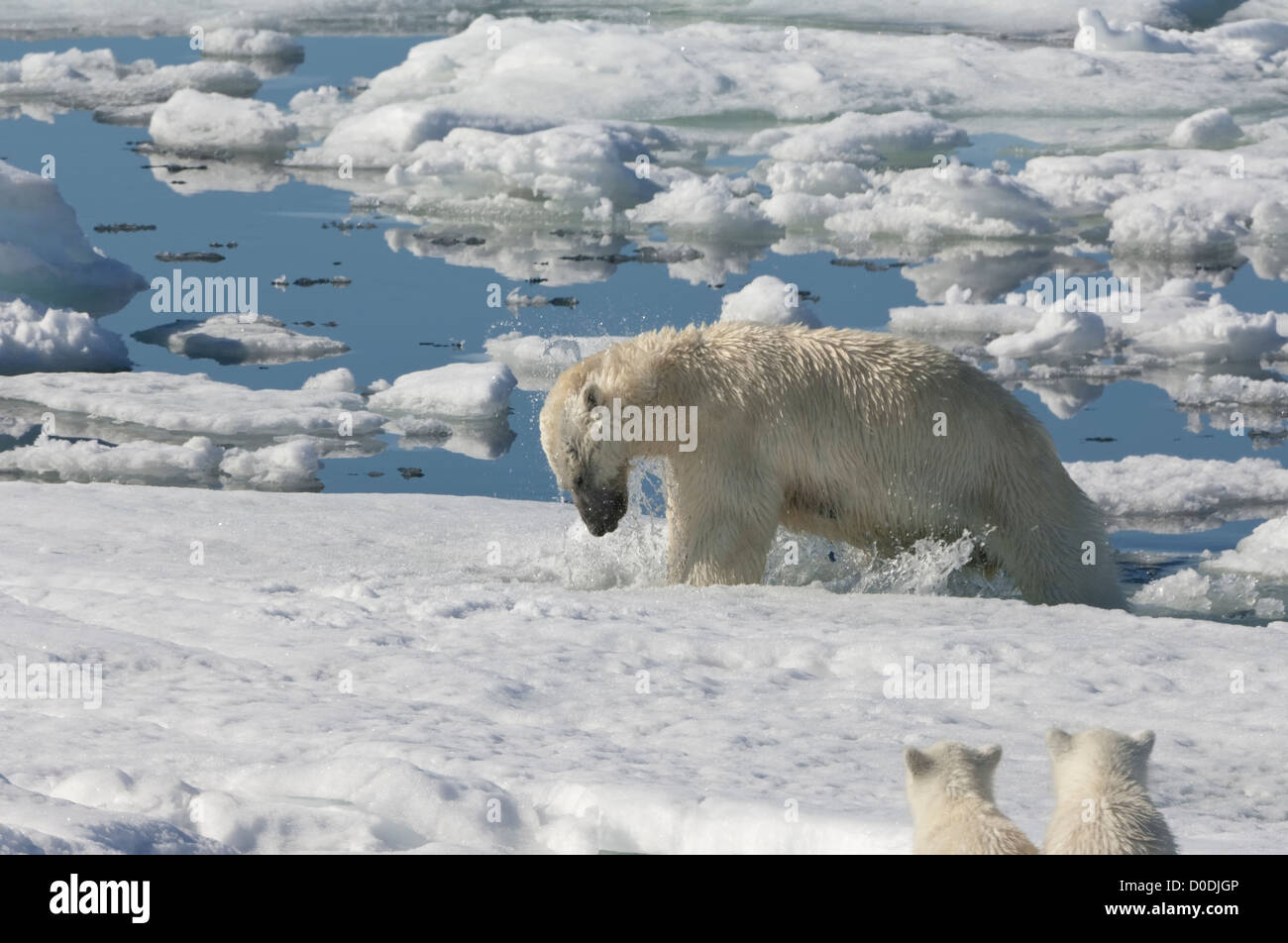 Female Polar bear (Ursus maritimus) hunting a ringed seal, Svalbard Archipelago, Barents Sea, Norway - Stock Image