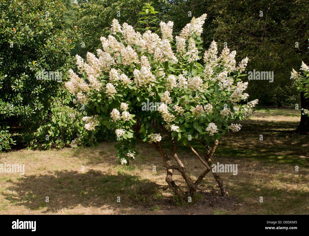 Hydrangea paniculata 'Kyushu'. Garden hybrid. - Stock Image