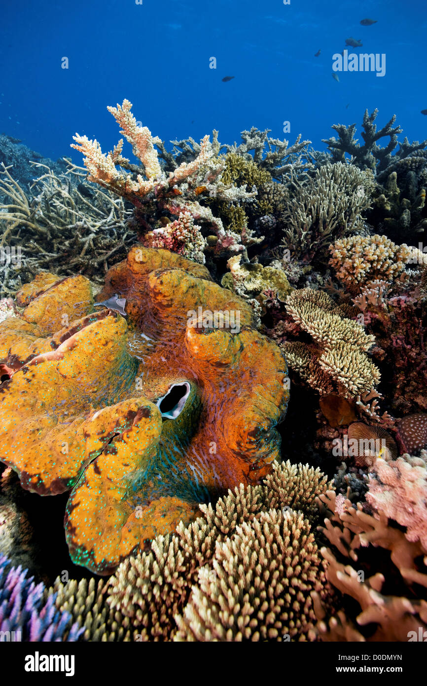 giant clam and great barrier reef stock photos amp giant