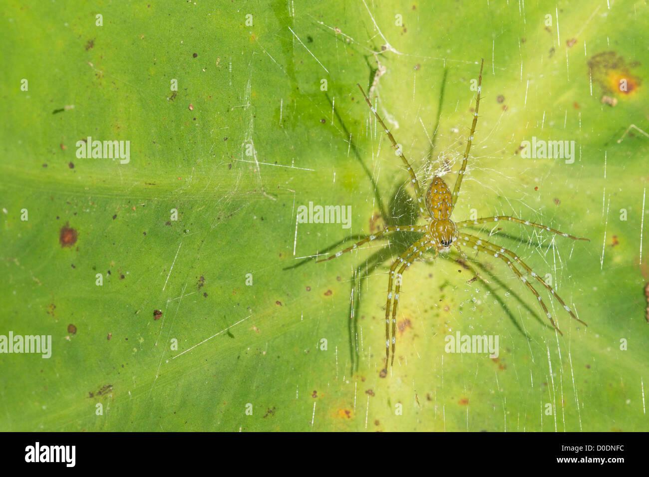 A Nursery Web Spider, Pisauridae sp. - Stock Image