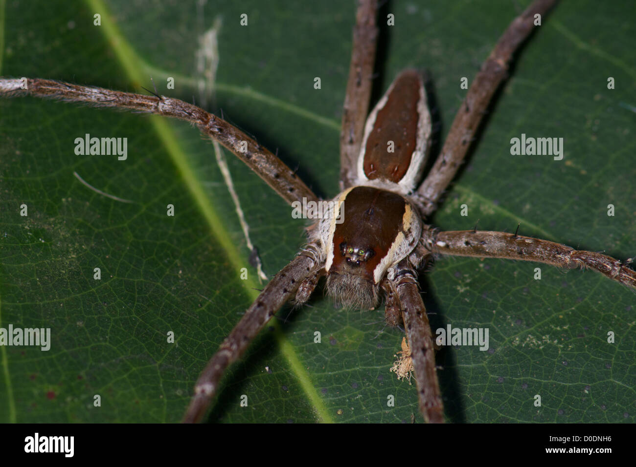 Dolomedes sp, Nursery web spider of the family Pisauridae. - Stock Image