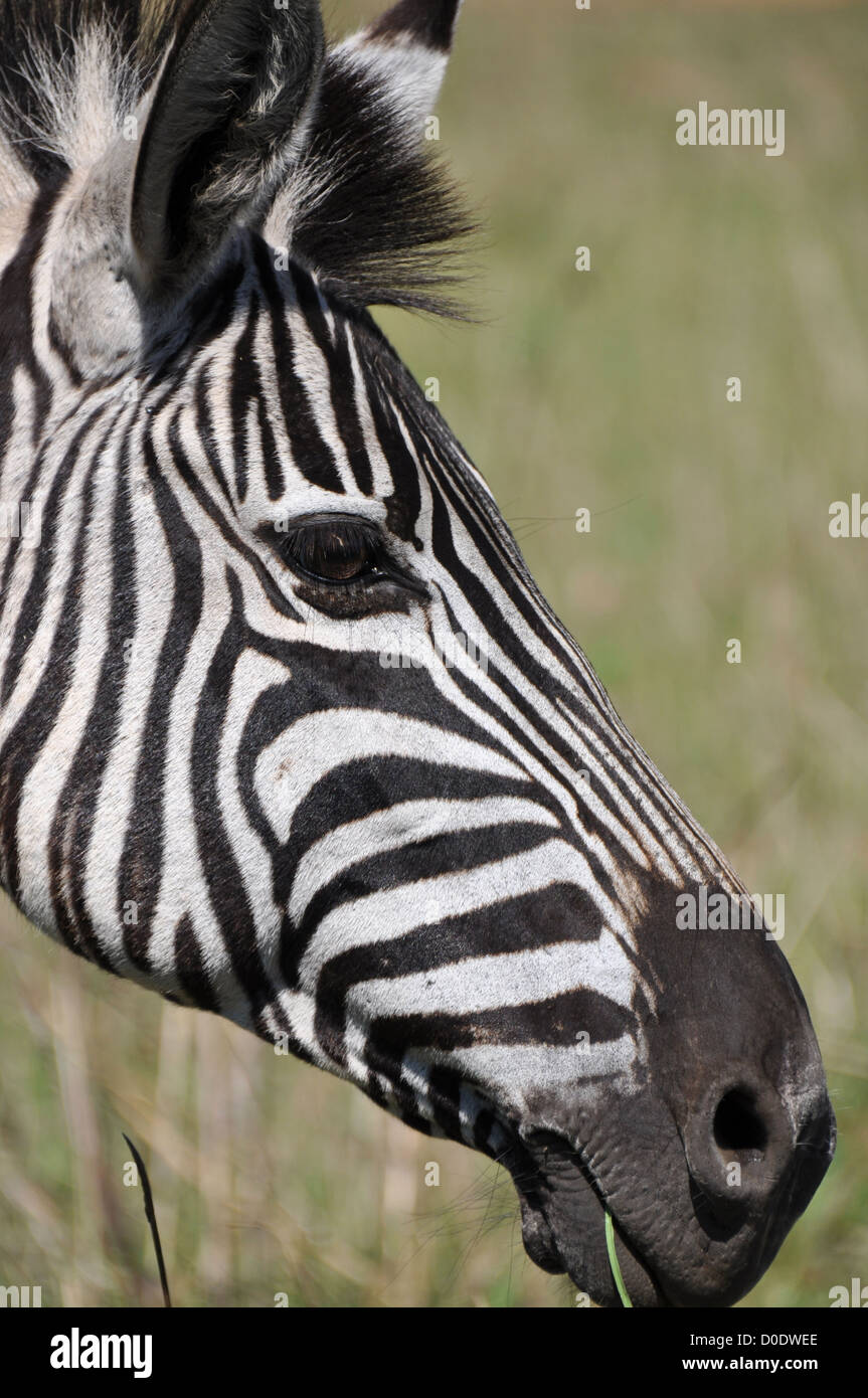 Zebra head looking at ease - Stock Image