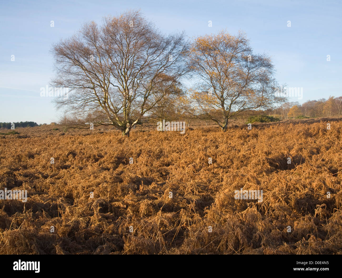 Sandlings heathland vegetation autumn Westleton Heath, Suffolk, England Stock Photo