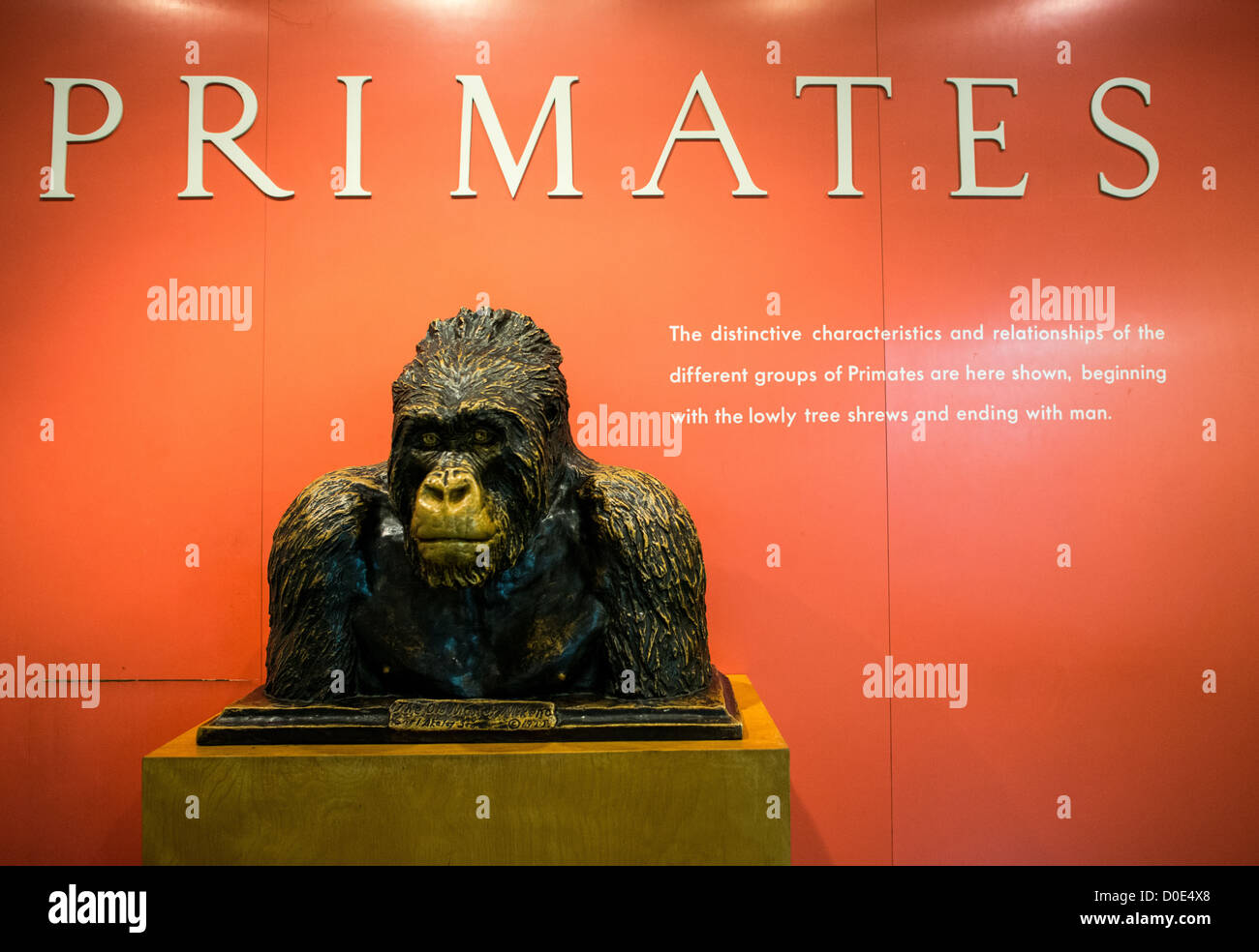 NEW YORK, NY - Primates exhibit at the Museum of Natural History in New York's Upper West Side neighborhood, - Stock Image