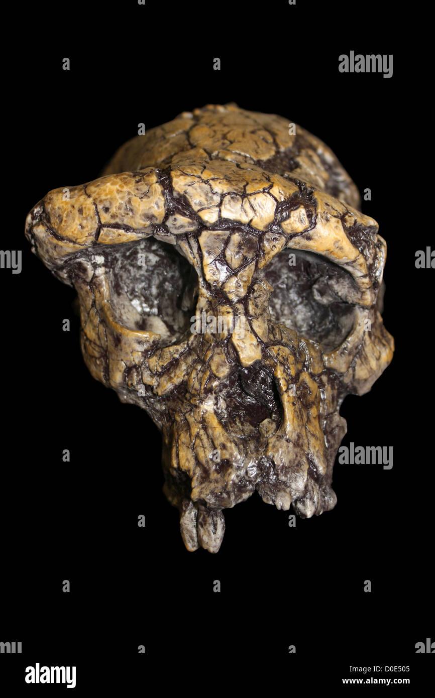 Sahelanthropus tchadensis - Stock Image