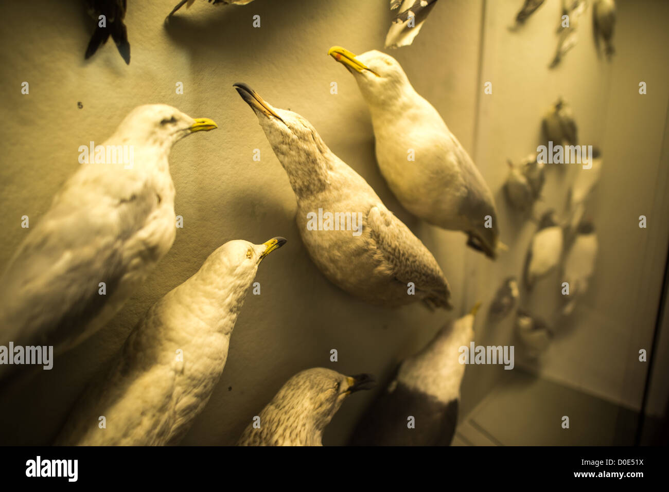 NEW YORK, NY - Seagull specimens on display at the Museum of Natural History in New York's Upper West Side neighborhood, - Stock Image