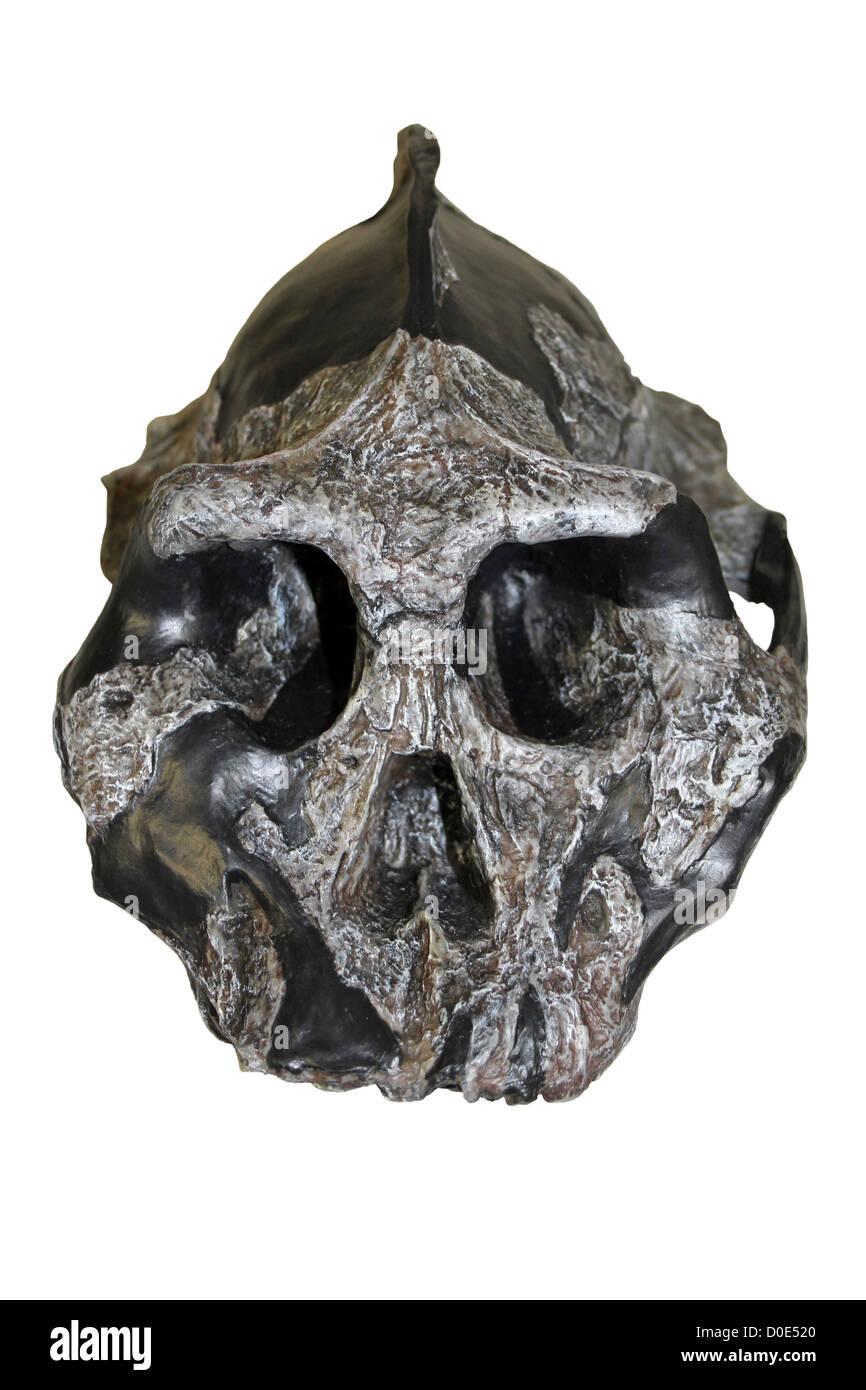 Australopithecus aethiopicus Skull - Stock Image