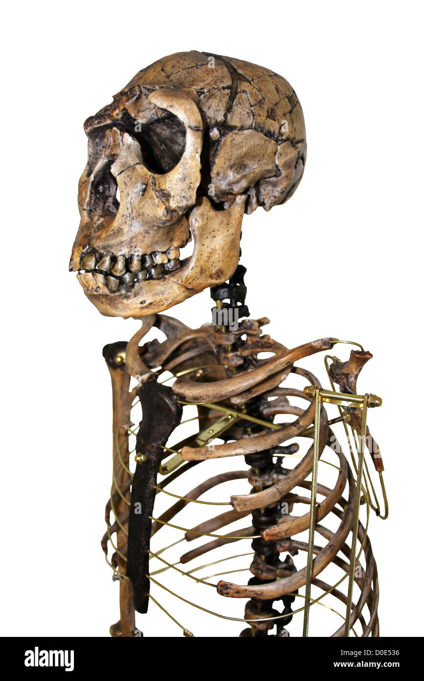 Homo ergaster Skeleton Nariokotome Boy - Stock Image