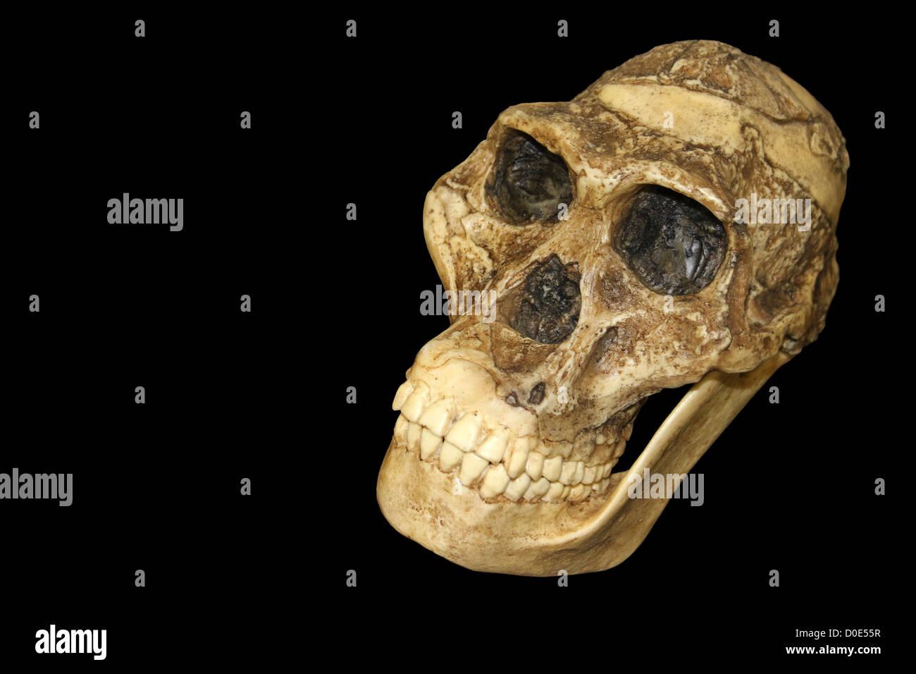 Australopithecus africanus Skull Sts 5 'Mrs. Ples' - Stock Image