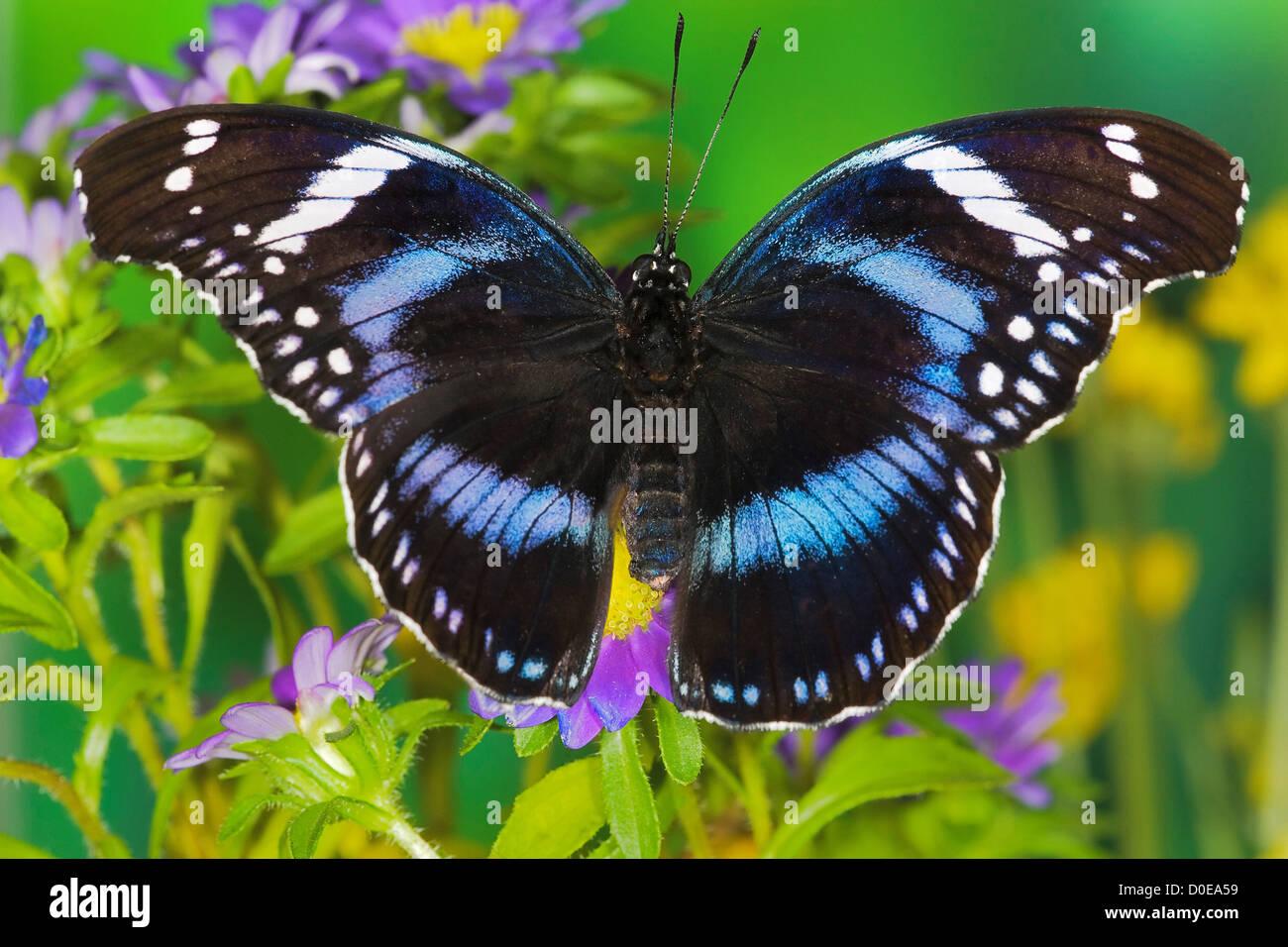 Bộ sưu tập cánh vẩy 6 - Page 14 Black-tipped-diadem-butterfly-D0EA59