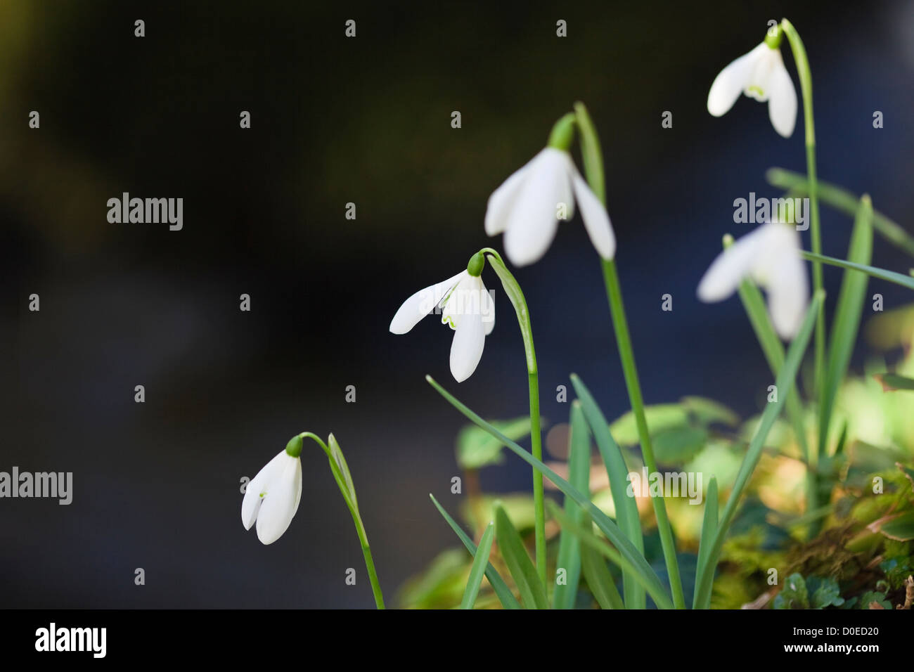 Wild Snowdrops (Galanthus nivalis) growing on Afon Dwyfor River riverbank in winter. Gwynedd North Wales UK Britain - Stock Image