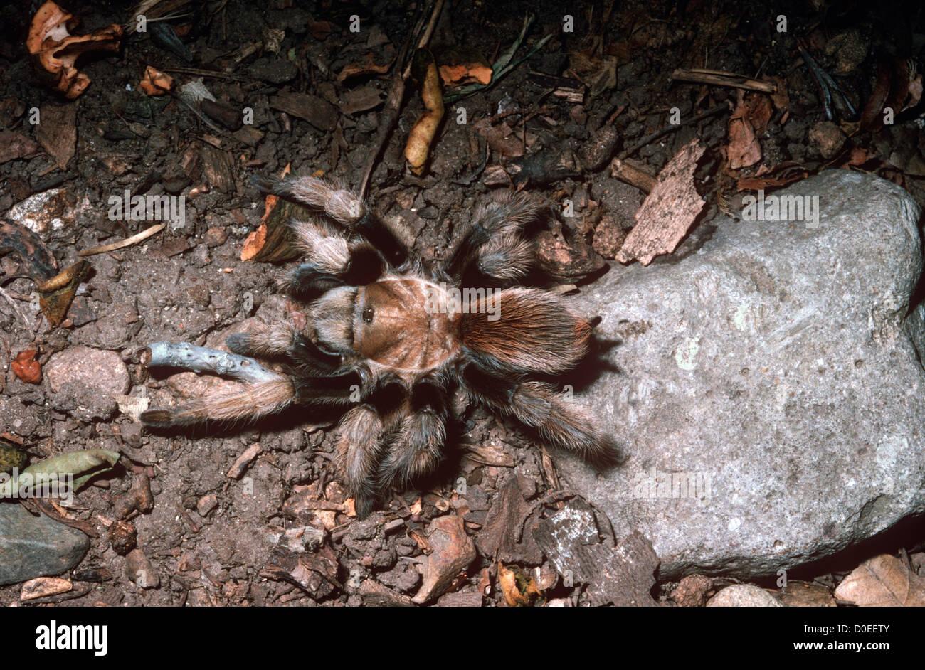 Western Desert Tarantula Spider Aphonopelma Chalcodes Female Stock Photo Alamy