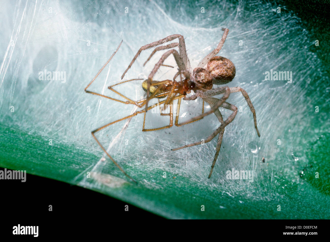 Running / House crab spider (Philodromus dispar) female catching male Enoplognatha ovata as she sits guarding her - Stock Image