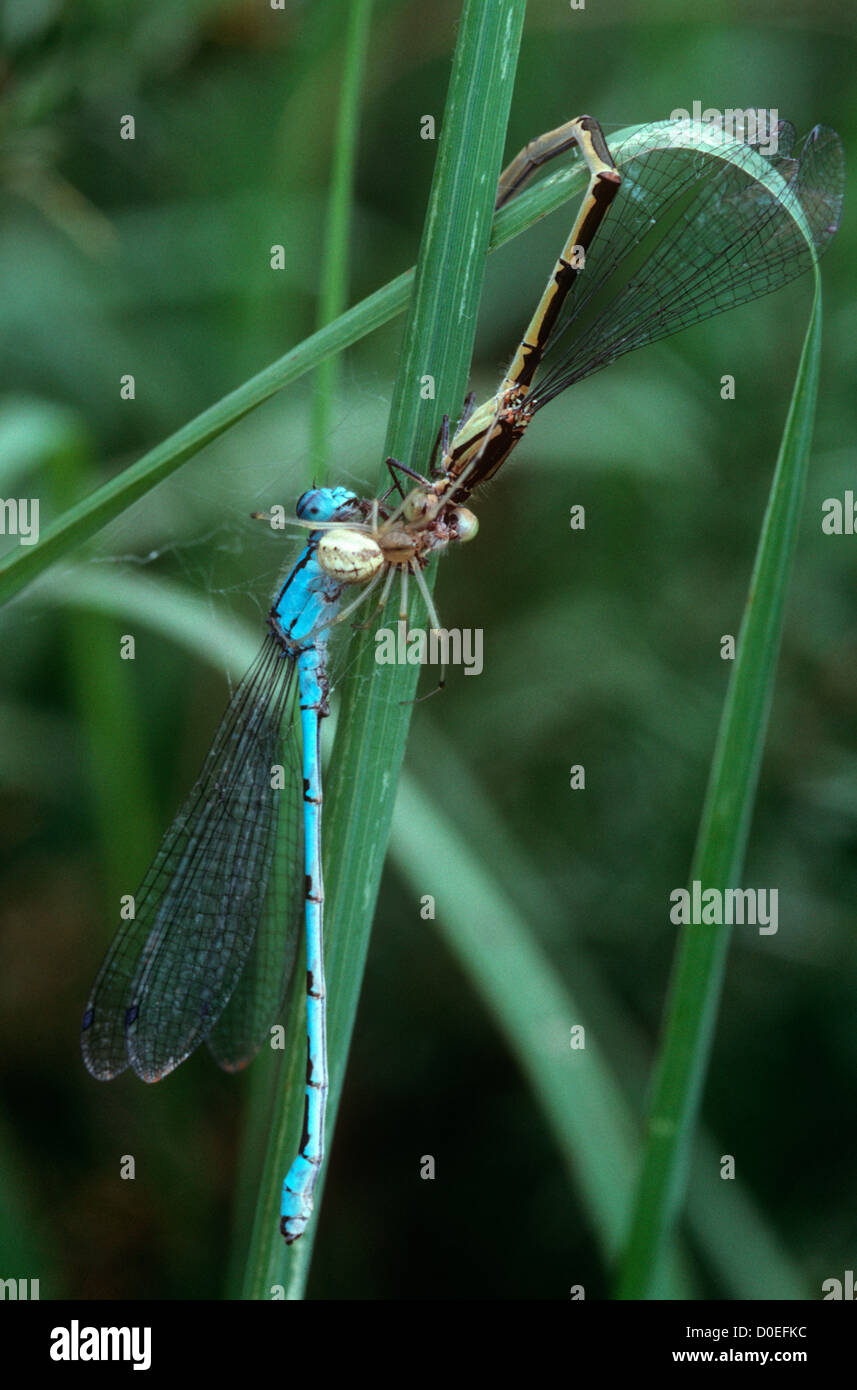Red-and-white spider (Enoplognatha ovata) feeding on a pair of common blue damselflies, trapped while they were - Stock Image