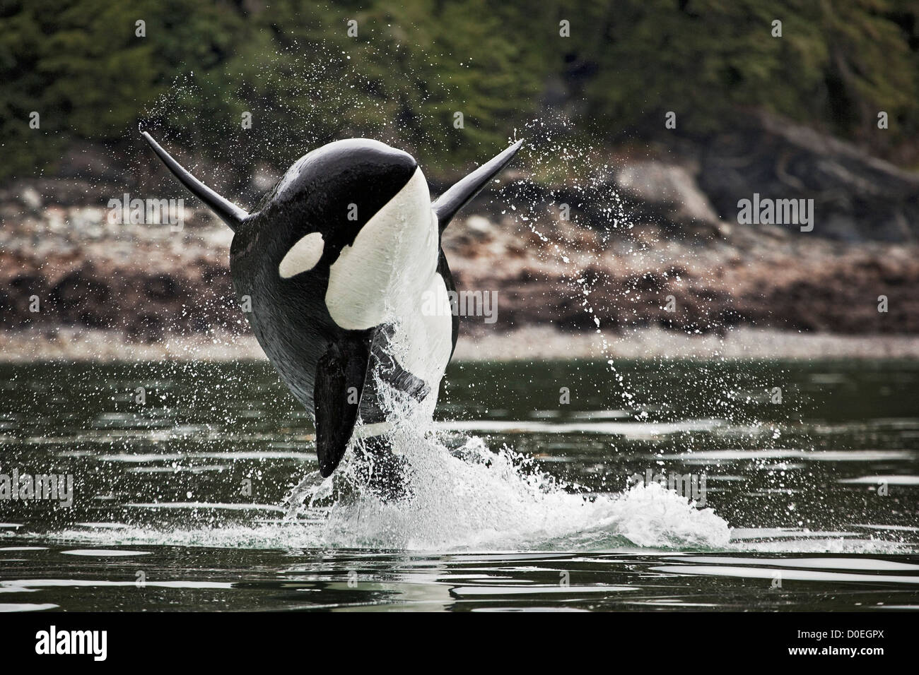 A male orca can be identified easily its tall straight dorsal fins. females have significantly smaller dorsal fins - Stock Image