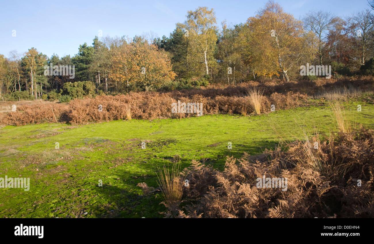 Sandlings heathland vegetation autumn Westleton Heath, Suffolk, England Stock Photo
