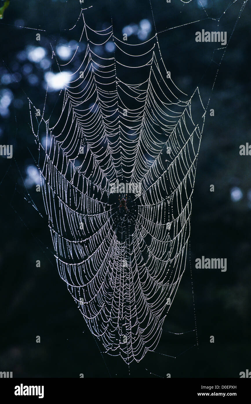 Spider Web Heavy with Dew - Stock Image