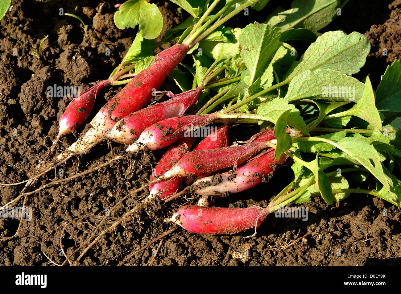 Bunch of fresh radishes (Raphanus sativus) from the garden, variety : 'Radis de dix-huit mois'. - Stock Image