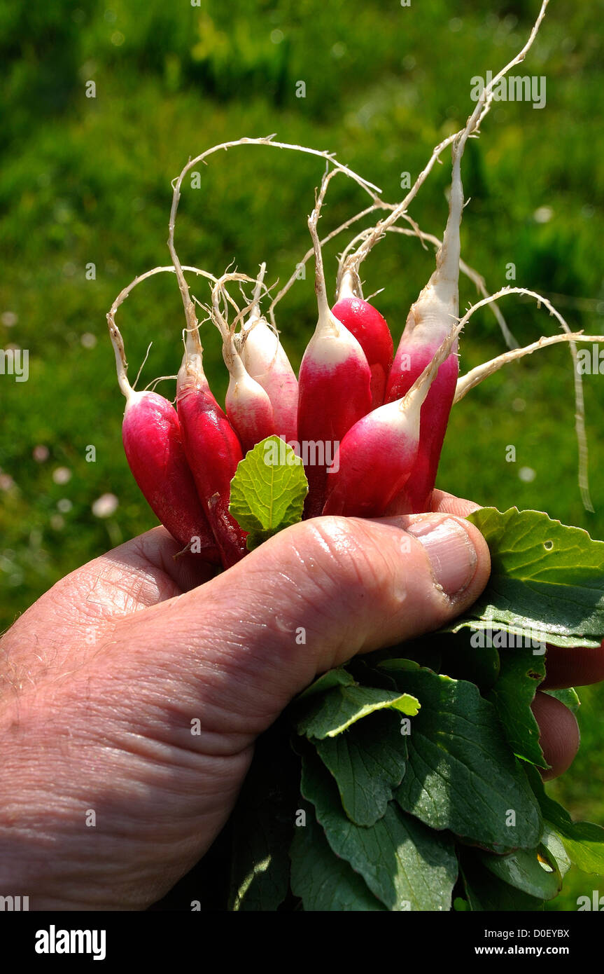 Bunch of fresh radishes (Raphanus sativus), variety : 'Radis de dix-huit mois'. - Stock Image