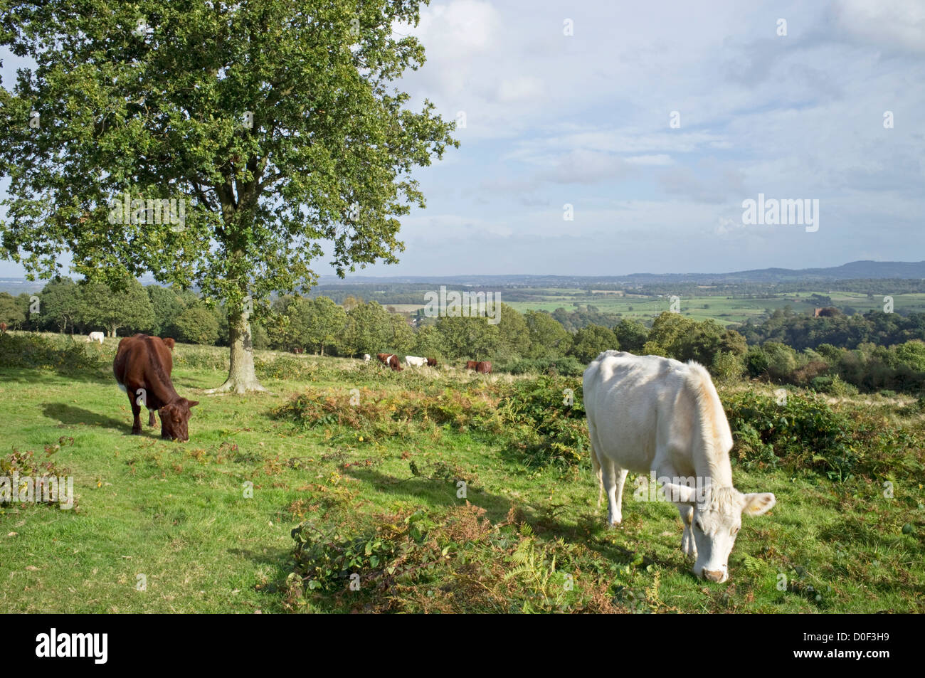 Short Horn cattle grazing on the National Trust's Kinver Edge, Kinver, Staffordshire, England, UK - Stock Image