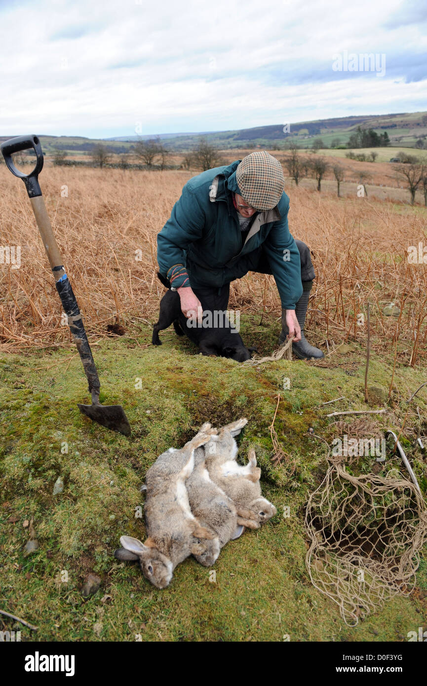 Searching for ferrets down rabbit hole with radio receiver - Stock Image