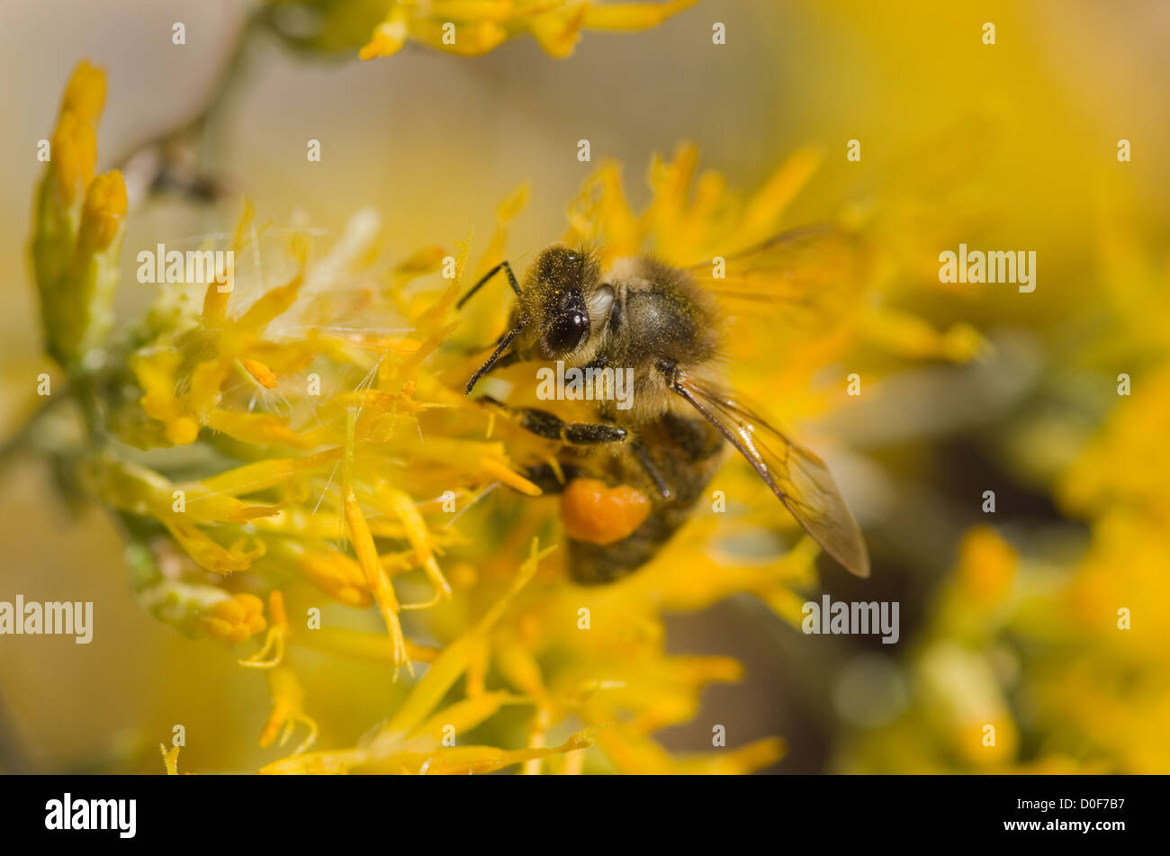 macro image of honey bee on yellow rabbitbrush flower - Stock Image