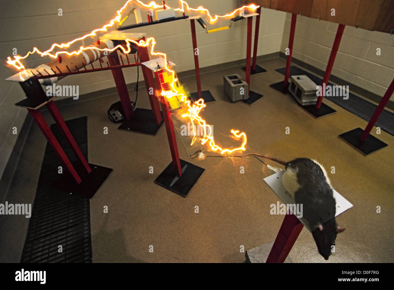 At Rat Research Lab University Illinois Urbana Dr. William Greenough his colleagues have done experiments demonstrating - Stock Image