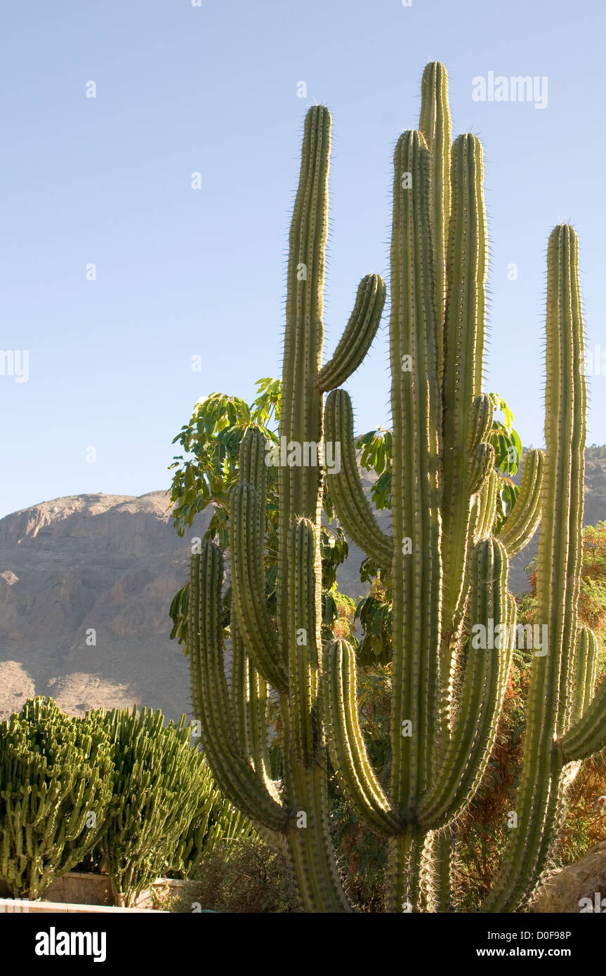 cactus cacti desert deserts tall long spikey spikes spike - Stock Image