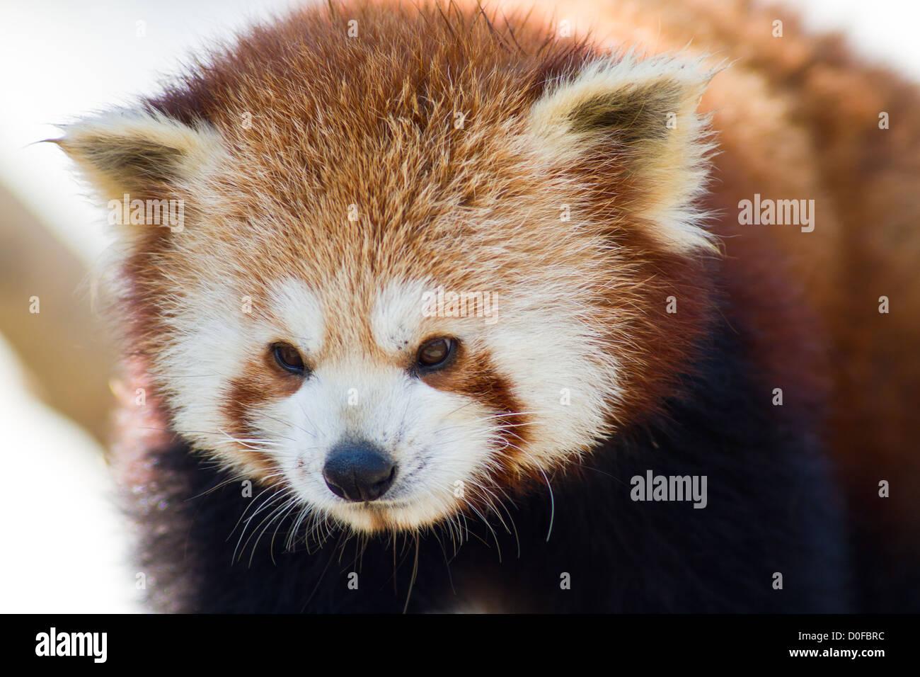 Close up of a Red Panda - Ailurus fulgens - Stock Image