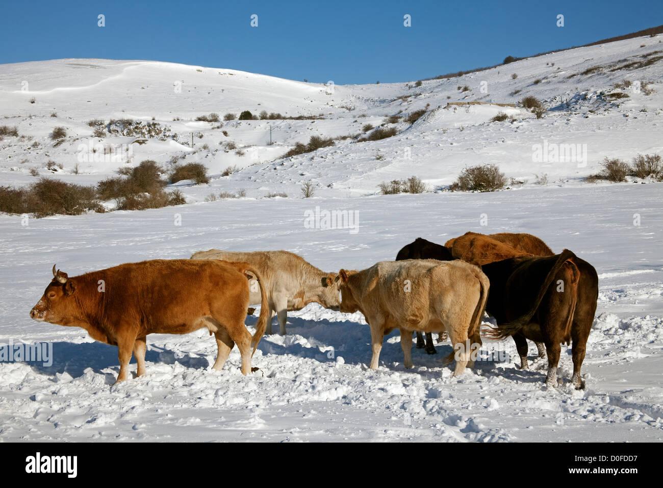 Cows in the snow  province of Palencia Castile Leon Spain Vacas en la nieve en la provincia de Palencia Castilla - Stock Image