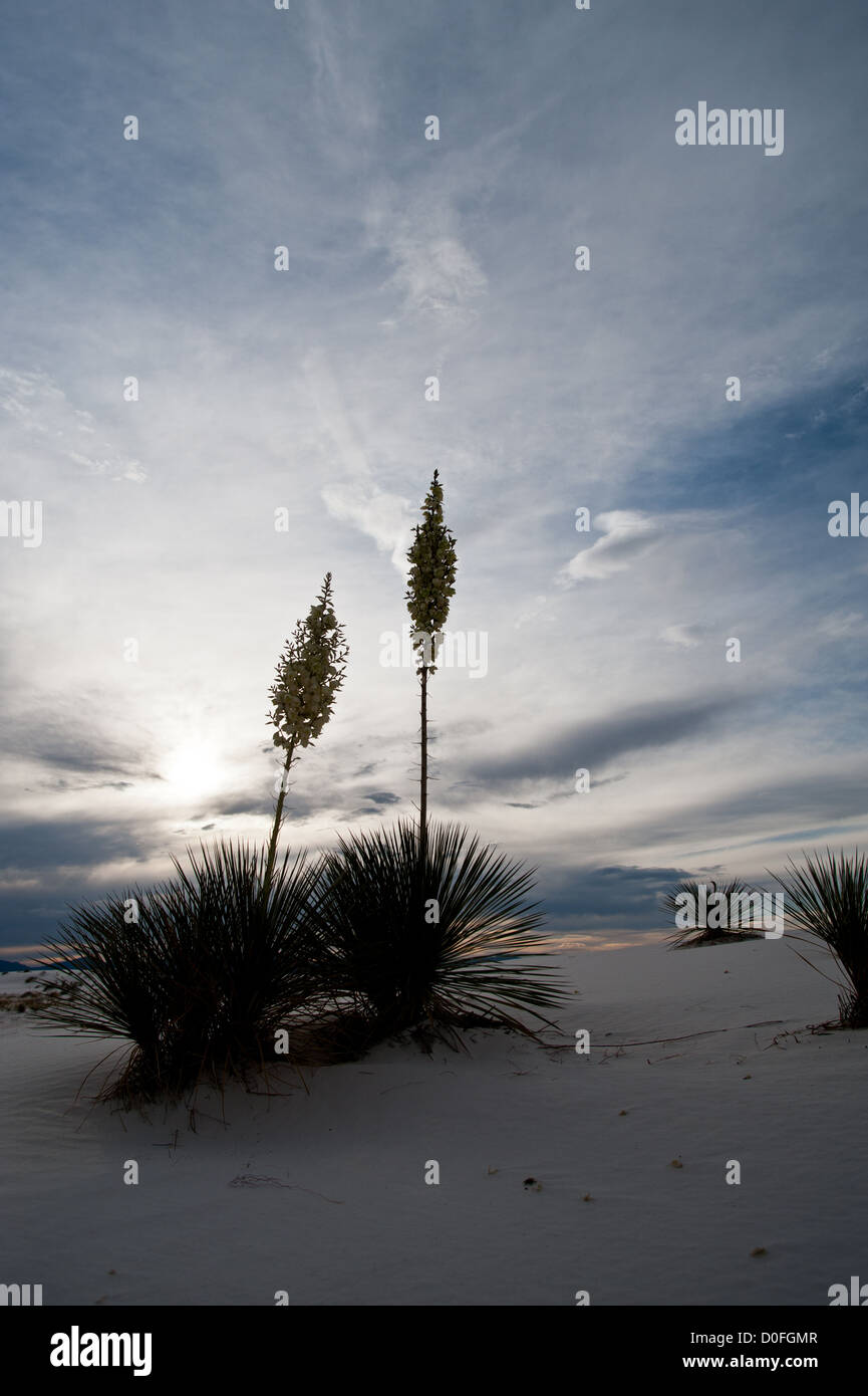 yuccas at White Sands National Monument, New Mexico. - Stock Image