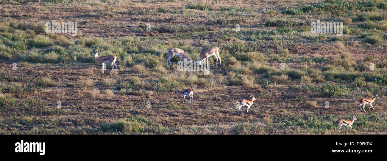 Two Male Grant's Gazelles square off for the fight during the mating season. Serengeti National Park, Tanzania - Stock Image