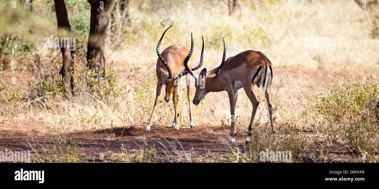 Two Male Impalas square off for the fight during the mating season. Serengeti National Park, Tanzania - Stock Image
