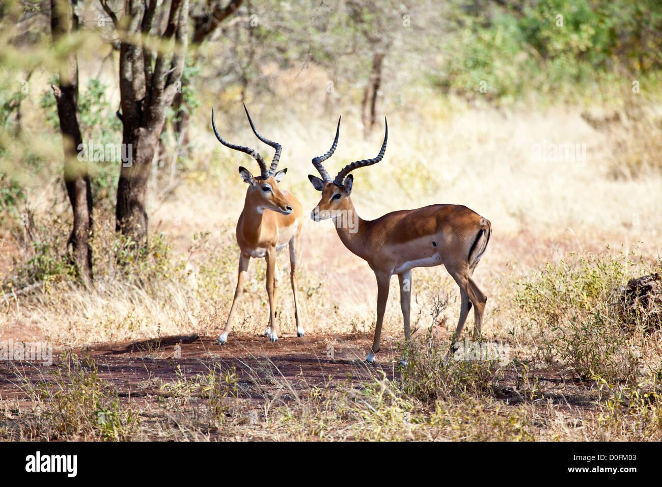 Impalas graze on the African Savannah. Serengeti National Park, Tanzania - Stock Image