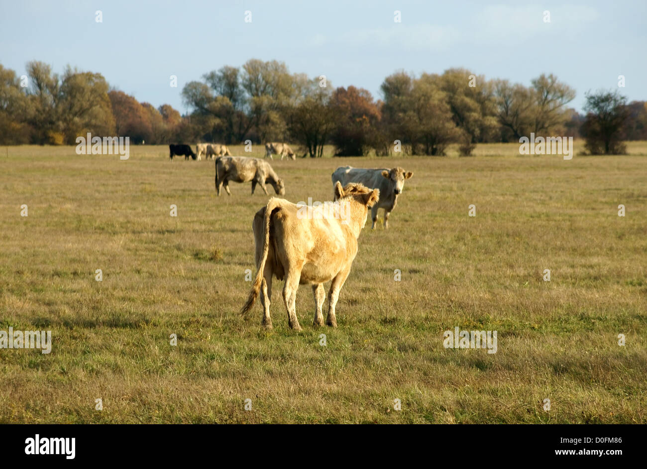 Cows on a pasture - Stock Image
