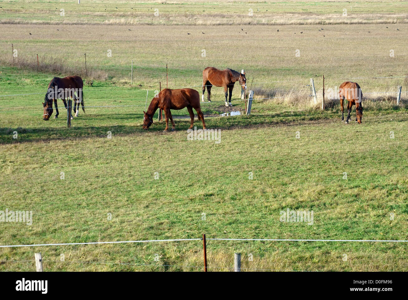 Horses on a pasture - Stock Image