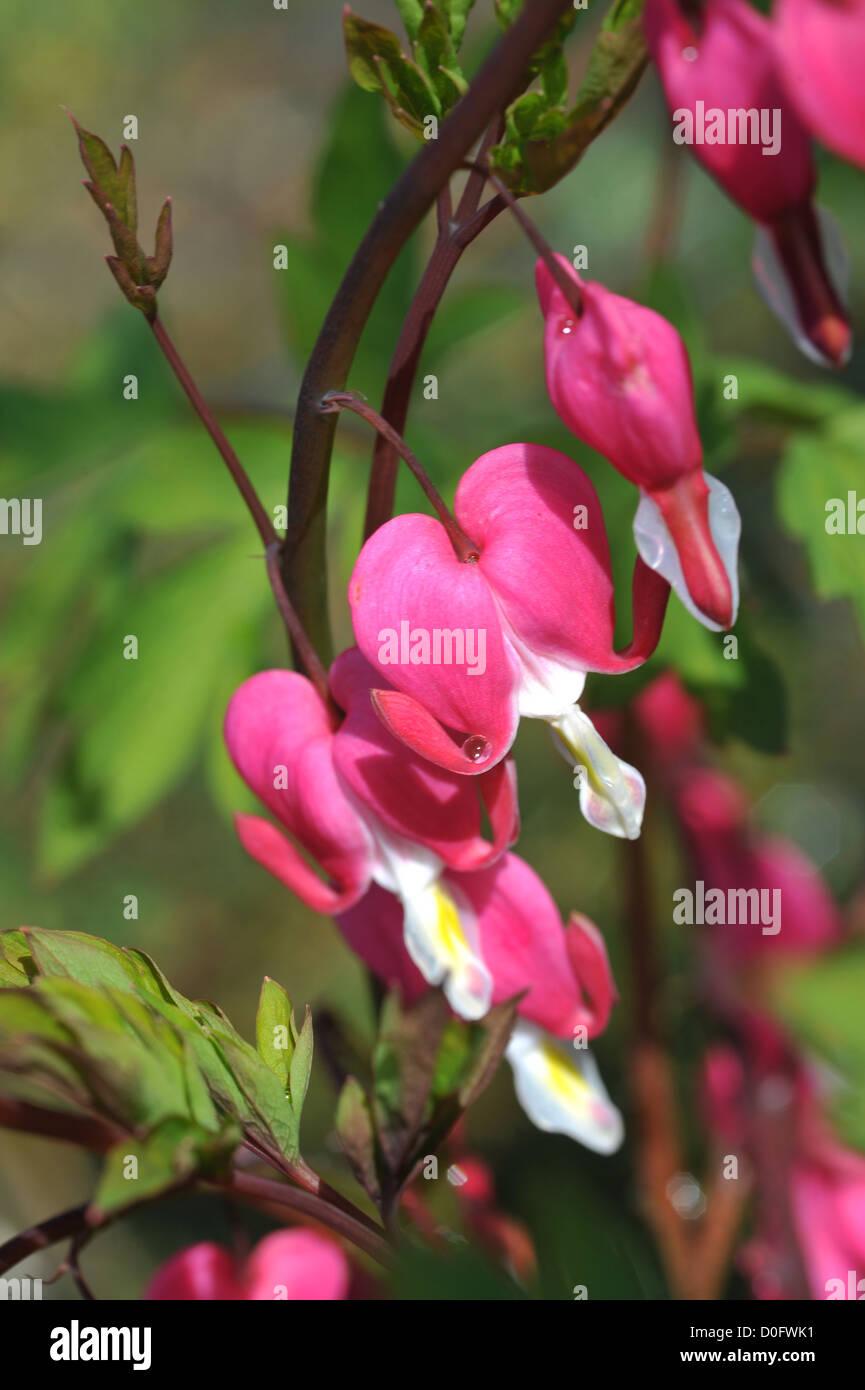 Bleeding Heart Flowers Stock Photo 51980517 Alamy