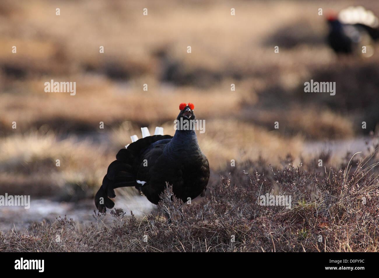 black grouse lekking on norwegian marsh - Stock Image