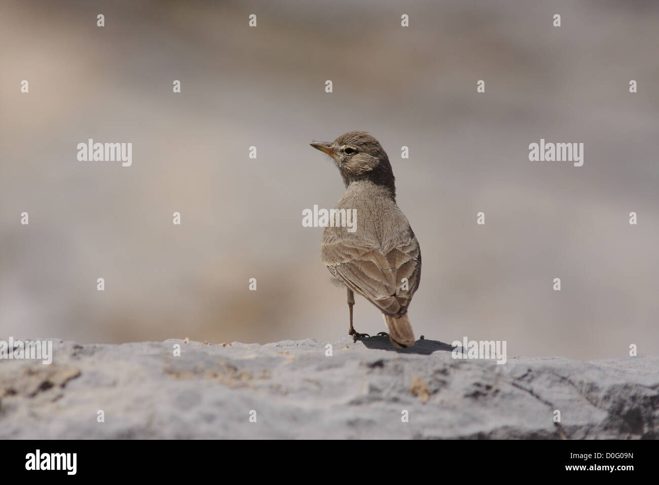 Desert lark perching on stone - Stock Image