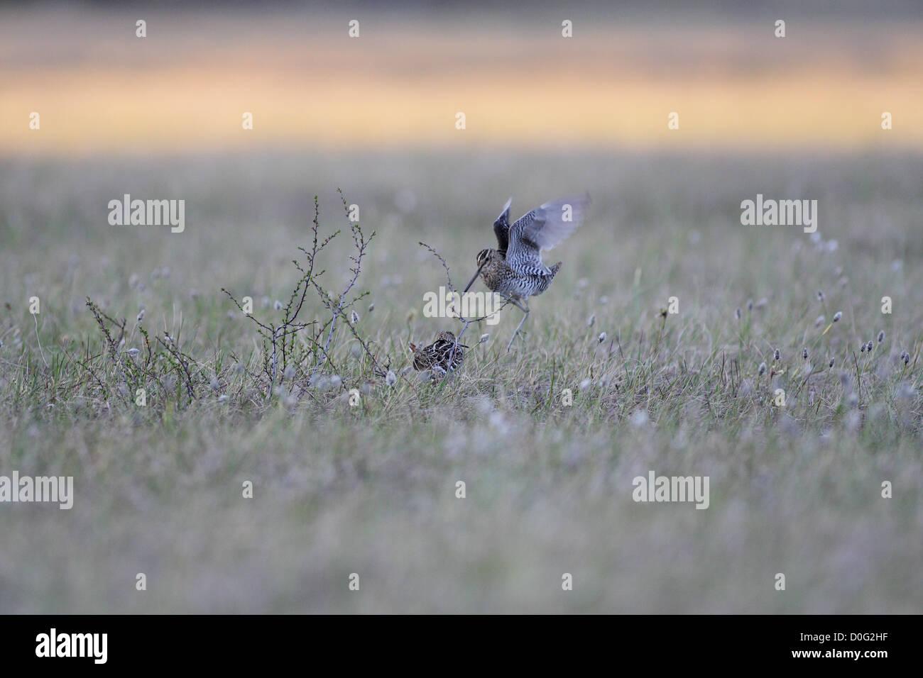 great snipes performing lekking behaviour - Stock Image