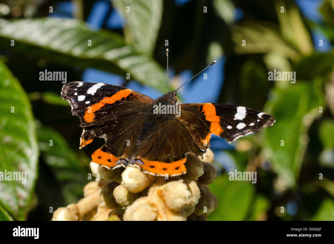 Red Admiral (Vanessa atalanta)   butterfly  on loquat blossom flower Stock Photo
