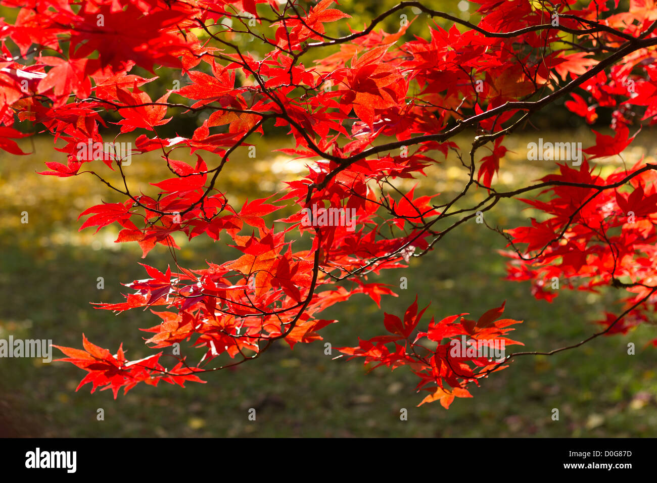 Red Acer branch back lite in the sunshine, lovely autumn shot with vibrant red leaves - Stock Image