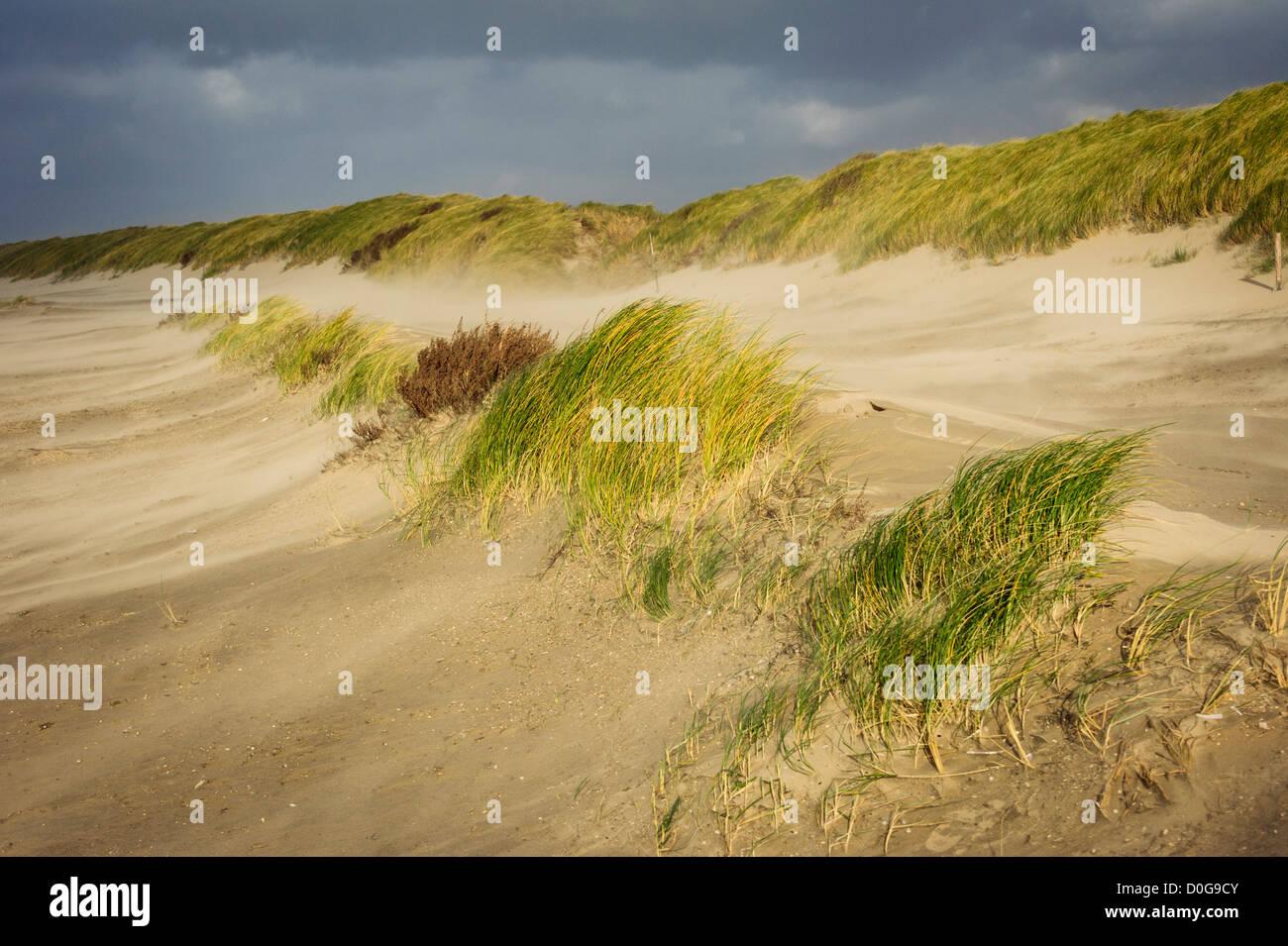 European Marram Grass or European Beachgrass, Ammophila arenaria, dune grasses in storm, Netherlands - Stock Image