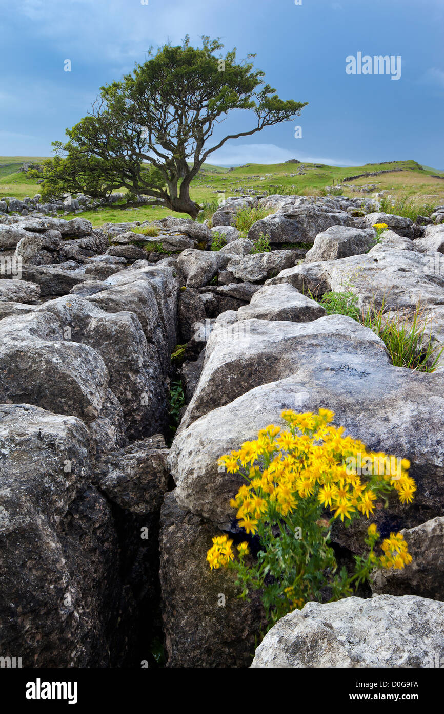 Hawthorn tree and Limestone pavement at Malham, Malhamdale in The Yorkshire Dales National Park, UK - Stock Image